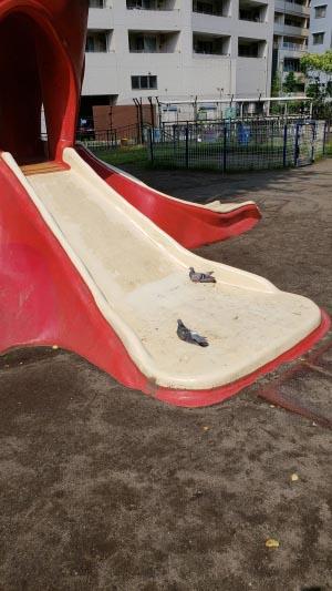 タコの滑り台に鳩